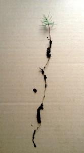 Mammutbaum Wurzel