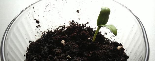 Olivenbaum: Die ersten Setzlinge