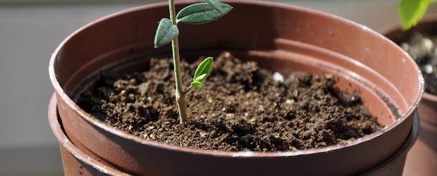 mein olivenbaum verzweigt sich garden blog. Black Bedroom Furniture Sets. Home Design Ideas