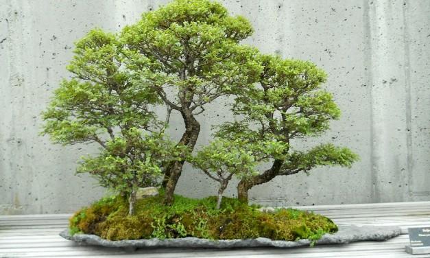garden blog zu garten bonsai pflanzen und mehr. Black Bedroom Furniture Sets. Home Design Ideas