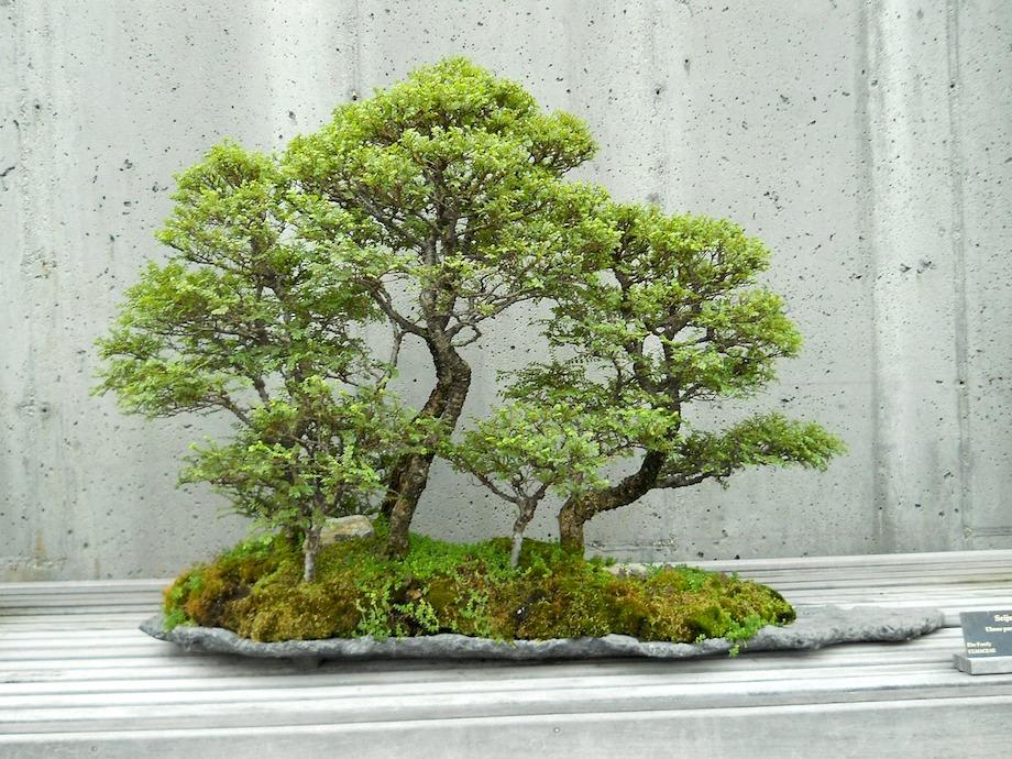 meine tipps um einen bonsai online zu kaufen garden blog. Black Bedroom Furniture Sets. Home Design Ideas