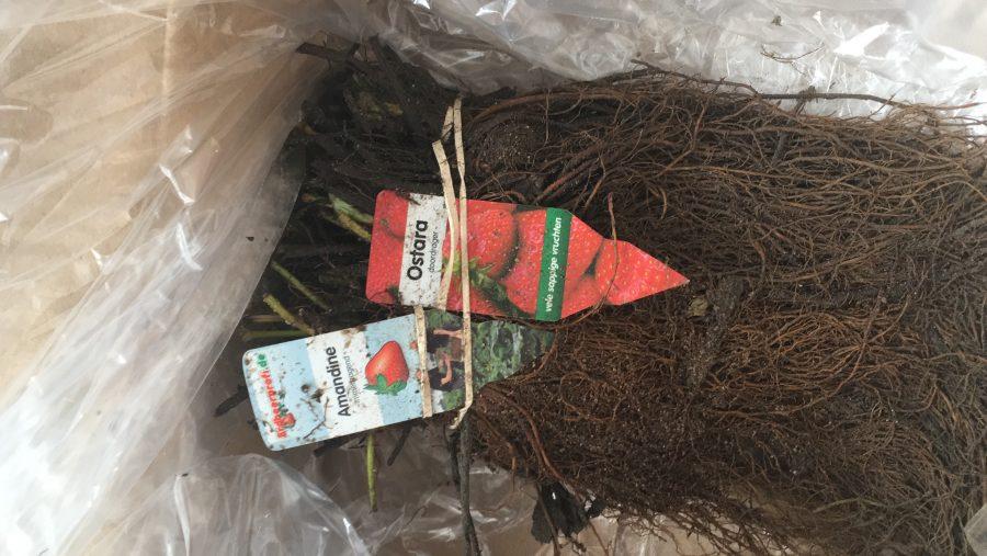 Erdbeerpflanzen für den Versand